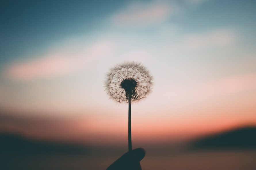 Dandilion at sunset